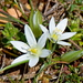 Star-of-Bethlehem - Photo (c) Kostas Zontanos, some rights reserved (CC BY-NC)