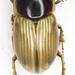 Melinopterus - Photo (c) Chris Moody, algunos derechos reservados (CC BY-NC)