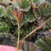 Carex fuscula - Photo (c) Liana May,  זכויות יוצרים חלקיות (CC BY-NC)