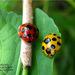 Synonycha grandis - Photo (c) Jason Alexander, algunos derechos reservados (CC BY-NC)