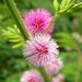 Giant False Sensitive Plant - Photo (c) Jason Alexander, some rights reserved (CC BY-NC)