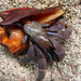 Viola Land Hermit Crab - Photo (c) Jason Alexander, some rights reserved (CC BY-NC)