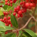 Greek Strawberry-Tree - Photo (c) Wildlife Travel, some rights reserved (CC BY-NC)