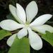 Magnoliaceae - Photo (c) Doug Goldman, osa oikeuksista pidätetään (CC BY-NC)