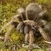 Aphonopelma iodius - Photo (c) Zach Lim, algunos derechos reservados (CC BY-NC)