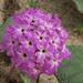 Abronia villosa villosa - Photo (c) Fred Melgert / Carla Hoegen, alguns direitos reservados (CC BY-NC)