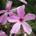 Prairie Phlox - Photo (c) Frank Mayfield, some rights reserved (CC BY-SA)