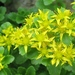 Kamchatka Stonecrop - Photo (c) Shihmei Barger 舒詩玫, some rights reserved (CC BY-NC-ND)