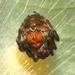 Araneus colubrinus - Photo (c) blackdogto, alguns direitos reservados (CC BY-NC)