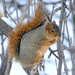 Fox Squirrel - Photo (c) USFWS Mountain-Prairie, some rights reserved (CC BY)