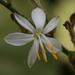 Chlorophytum - Photo (c) Alfonso Gutiérrez Aldana, alguns direitos reservados (CC BY-NC)