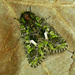 Orache Moth - Photo (c) Michał Brzeziński, some rights reserved (CC BY-NC)