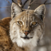 Lynxes - Photo (c) Michiel van Nimwegen, some rights reserved (CC BY-NC-ND)