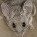 Ratón Piñonero - Photo (c) Nature Ali, algunos derechos reservados (CC BY-NC-ND)