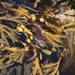 Fucaceae - Photo (c) John Wigham, algunos derechos reservados (CC BY)