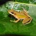 Chalcorana chalconota - Photo (c) Huda Wiradarma, algunos derechos reservados (CC BY-NC)