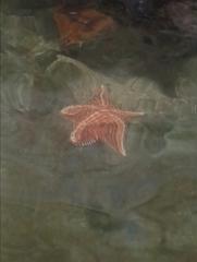 Oreaster reticulatus image