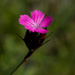 Carthusian Pink - Photo (c) Anne, some rights reserved (CC BY-NC-SA)