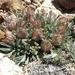 Townsendia leptotes - Photo (c) Jim Morefield, alguns direitos reservados (CC BY)