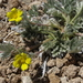 Potentilla pseudosericea - Photo (c) Jim Morefield, μερικά δικαιώματα διατηρούνται (CC BY)