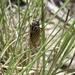 Okanagana synodica synodica - Photo (c) Robert L Sanders, μερικά δικαιώματα διατηρούνται (CC BY-NC)