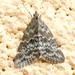 Evergestis sophialis - Photo (c) katunchik, μερικά δικαιώματα διατηρούνται (CC BY)
