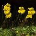 Erythranthe primuloides - Photo (c) Jim Morefield, algunos derechos reservados (CC BY)