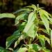 Amaranthus australis - Photo (c) Mary Keim, algunos derechos reservados (CC BY-NC-SA)