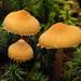 Cystoderma amianthinum - Photo (c) tombigelow, algunos derechos reservados (CC BY-NC)