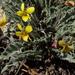 Viola pinetorum - Photo (c) Jim Morefield, algunos derechos reservados (CC BY)