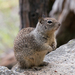 California Ground Squirrel - Photo (c) qli, some rights reserved (CC BY-NC)