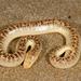 Arabian Sand Boa - Photo (c) Roberto Sindaco, some rights reserved (CC BY-NC-SA)