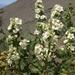 Chamaebatiaria millefolium - Photo (c) Jim Morefield, algunos derechos reservados (CC BY)