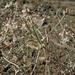 Eriogonum panamintense - Photo (c) Jim Morefield, algunos derechos reservados (CC BY)