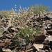 Eriogonum rupinum - Photo (c) Jim Morefield, algunos derechos reservados (CC BY)