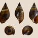 Melanopsis buccinoidea - Photo (c) H. Zell, algunos derechos reservados (CC BY-SA)