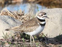 Killdeer - Photo (c) USFWSmidwest, some rights reserved (CC BY)