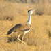 Great Indian Bustard - Photo (c) Kesavamurthy N, some rights reserved (CC BY-SA)