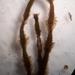 Plagiochila annotina - Photo (c) Leon Perrie, μερικά δικαιώματα διατηρούνται (CC BY)