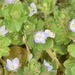 Ivy-leaved Speedwell - Photo (c) skitterbug, some rights reserved (CC BY)
