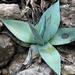 Agave guiengola - Photo (c) Juan Ignacio 1976,  זכויות יוצרים חלקיות (CC BY-SA)