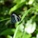 Nacaduba cyanea - Photo (c) Donald Hobern, algunos derechos reservados (CC BY)
