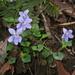 Viola grypoceras - Photo (c) Σ64, algunos derechos reservados (CC BY-SA)