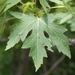 Acer saccharinum - Photo Δεν διατηρούνται δικαιώματα