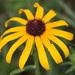 Rudbeckia hirta - Photo Δεν διατηρούνται δικαιώματα