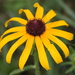 Black-eyed Susan - Photo no rights reserved