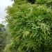 Loxostylis alata - Photo (c) Adriaan Grobler,  זכויות יוצרים חלקיות (CC BY-NC)