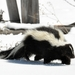Striped Skunk - Photo (c) Dan Dzurisin, some rights reserved (CC BY)