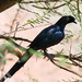 Bristle-crowned Starling - Photo (c) Carol Foil, some rights reserved (CC BY-NC-ND)