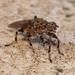 Heleomyzidae - Photo (c) Dustyn and Catherine, algunos derechos reservados (CC BY-NC)